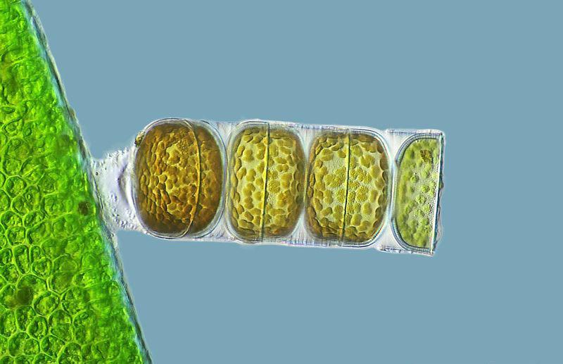 Живые водоросли