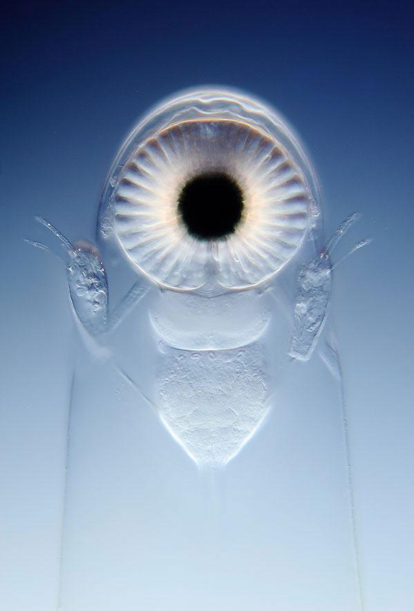 Глаз ветвистоусого рачка Лептодоры