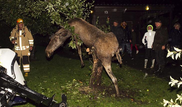 Пьяный лось