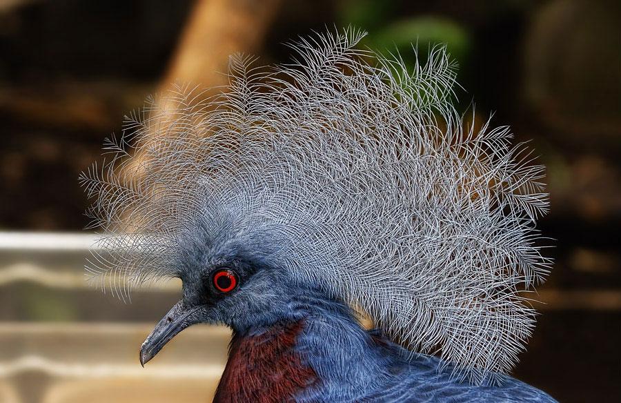 Венецианский голубь