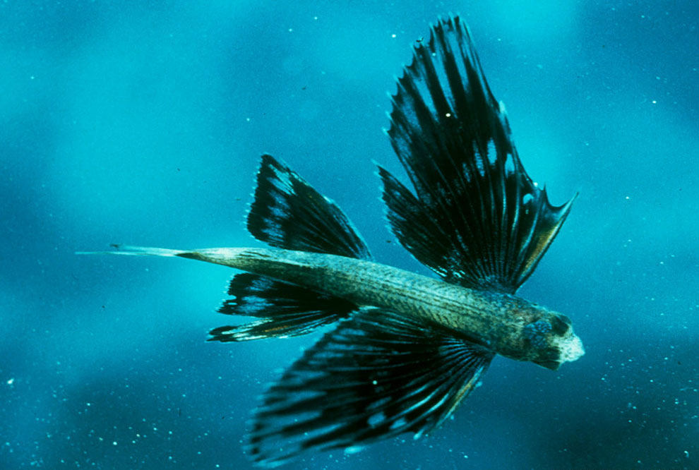 Amazing flying fish