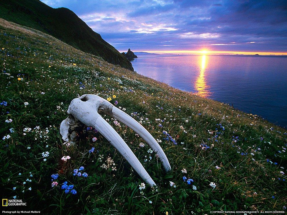 Череп моржа