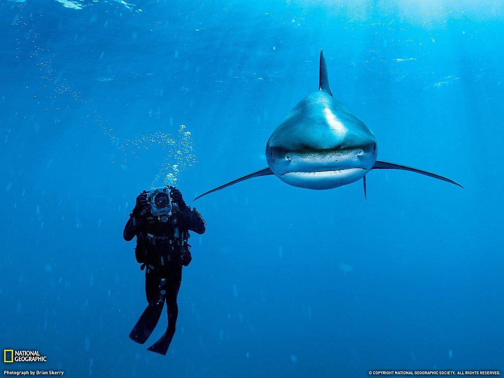 Водолаз и белоперая акула