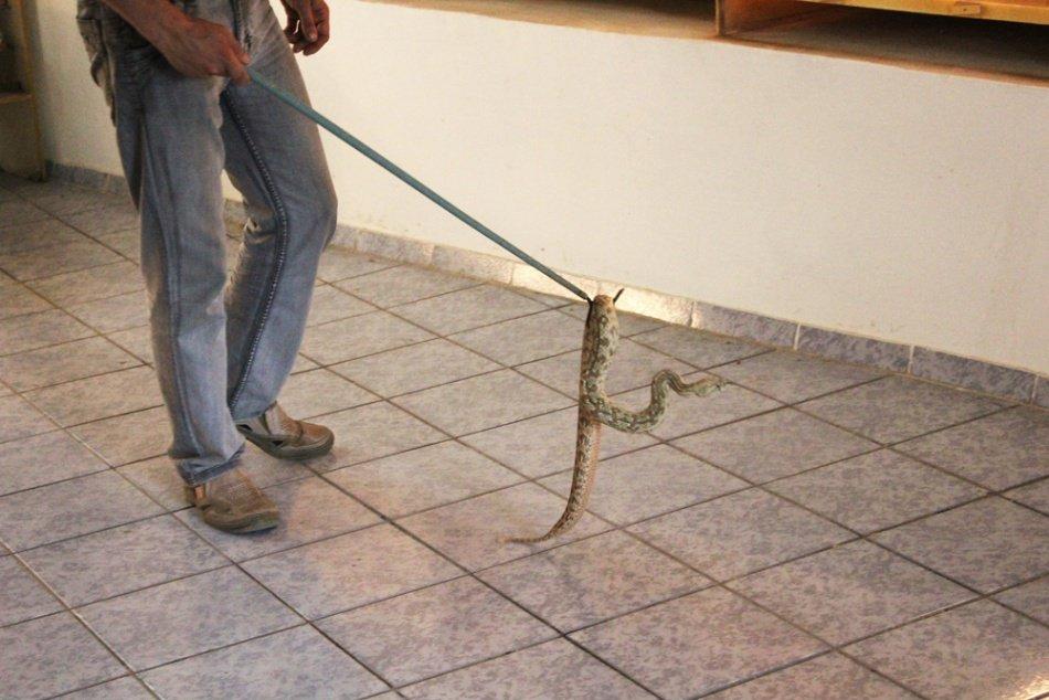 Опасная работа: змеелов