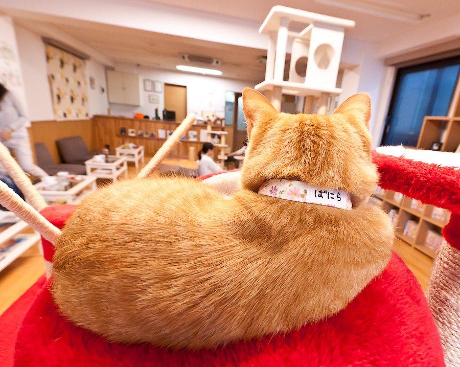 Кэт кафе в Японии