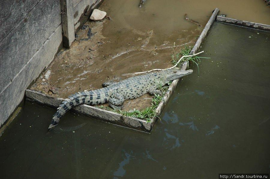 Истории о крокодилах с острова Новая Гвинея