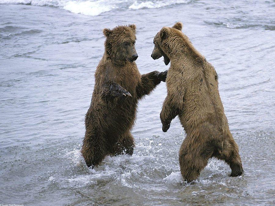 Зачем медведь встает на задние лапы?
