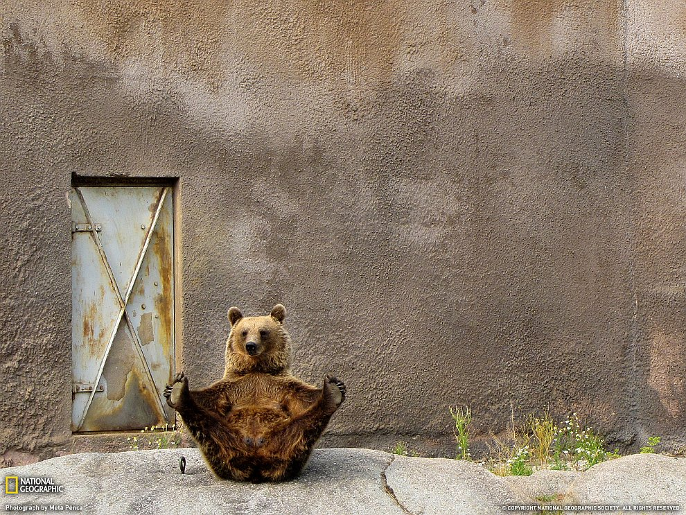 Медведь-гимнаст