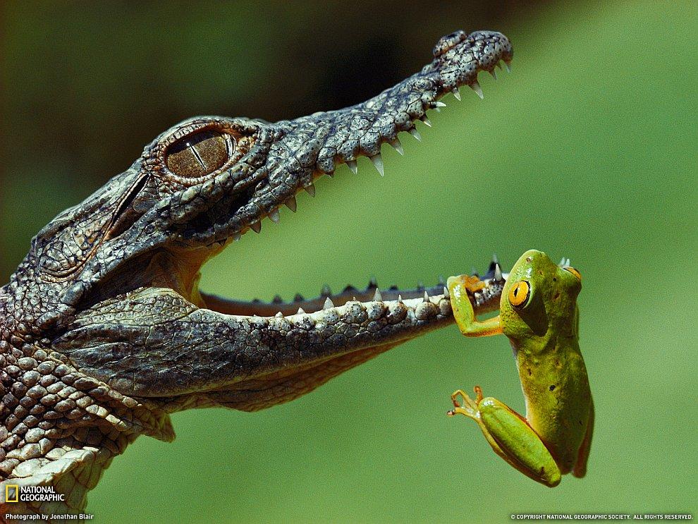 Лягушонок и маленький нильский крокодил