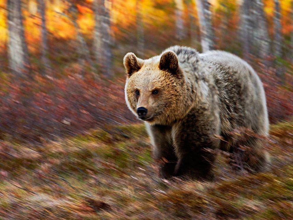 Медведь, Финляндия