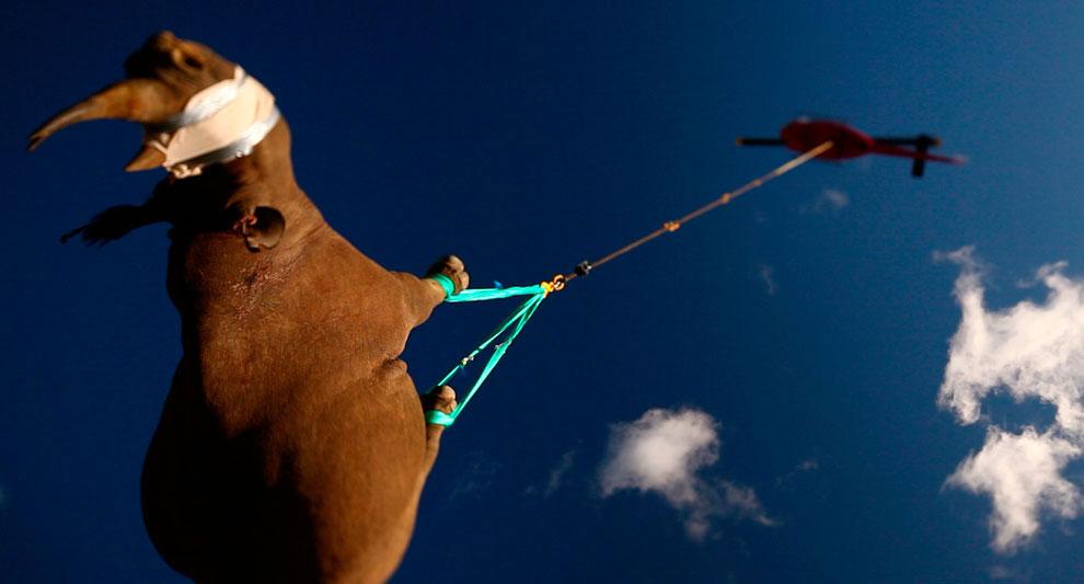 Перевозка черного носорога