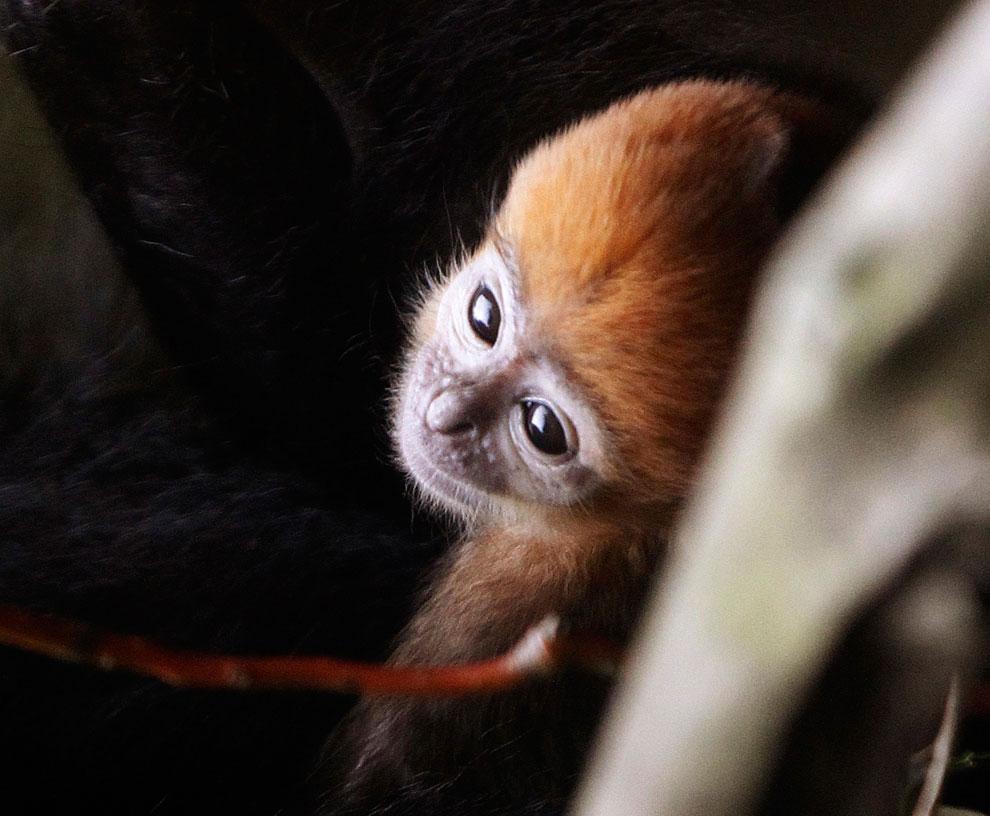 Тонкотелая обезьяна