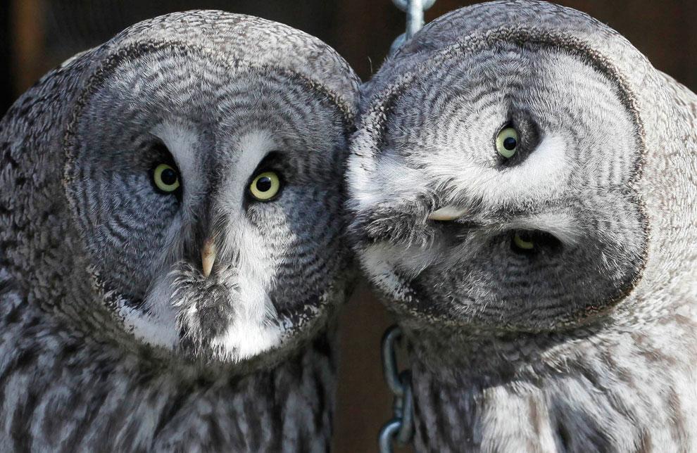 Большие серые совы