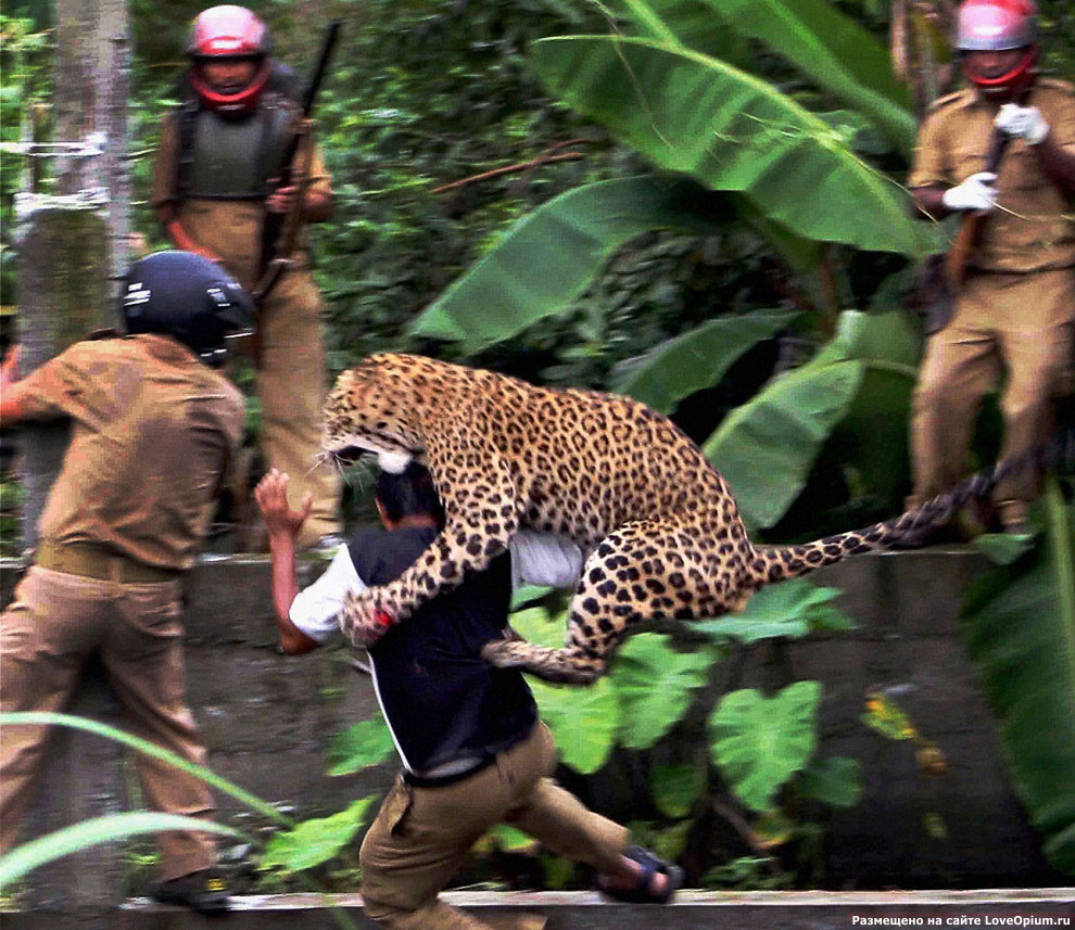 Атака леопарда