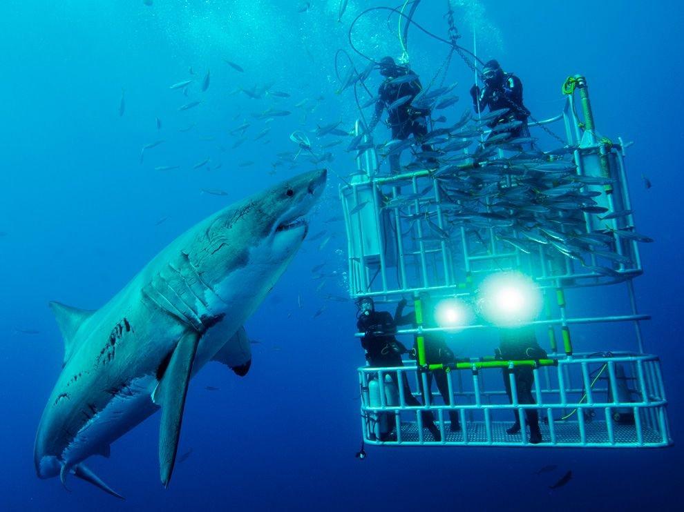 Большая белая акула и аквалангисты