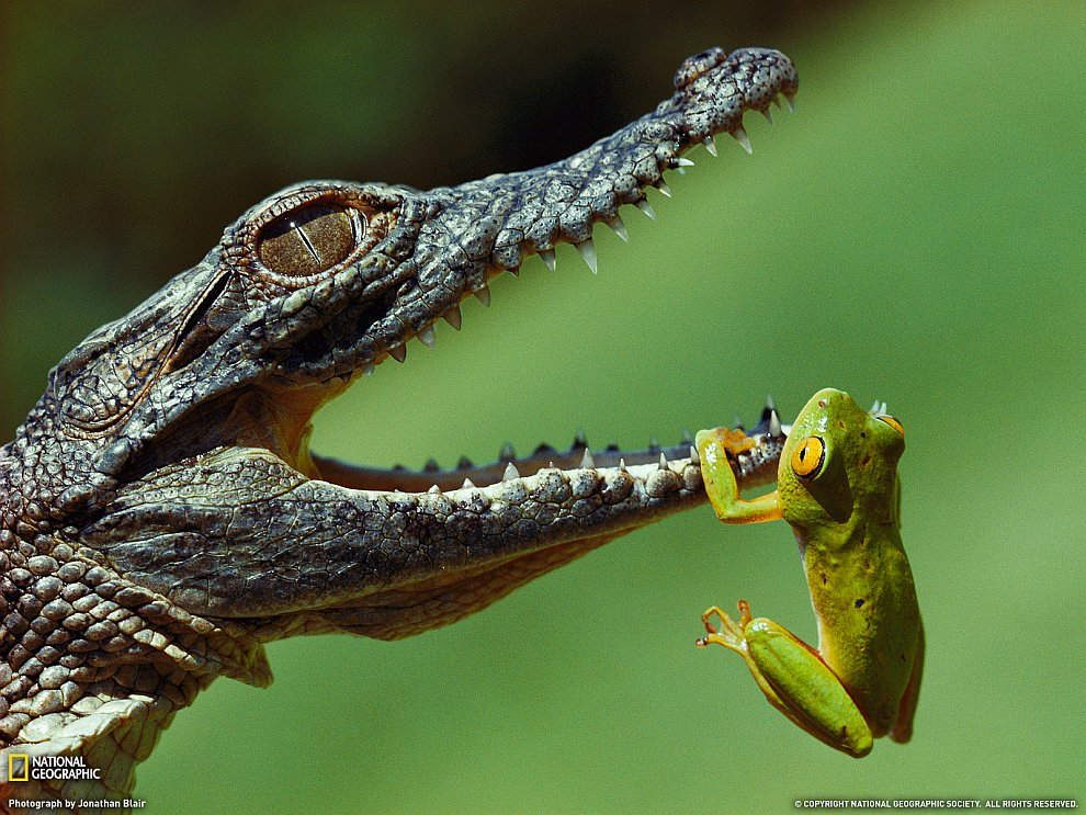 Лягушка и крокодил