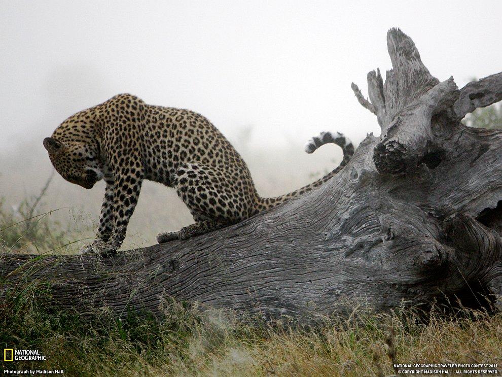 Леопард, Южная Африка