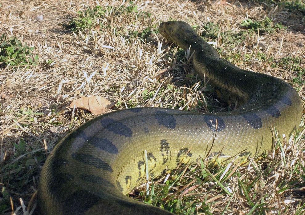 Змея анаконда