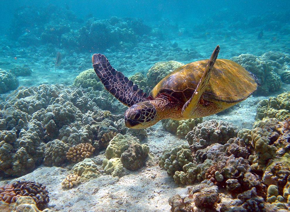 Морская зеленая черепаха