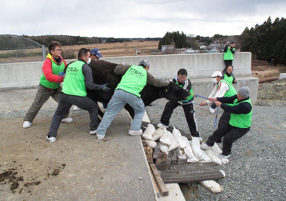 Спасение домашних животных из зоны отчуждения вокруг АЭС «Фукусима-1»