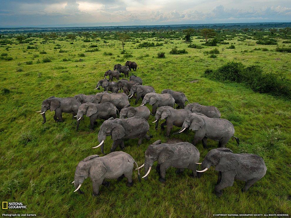 Стадо слонов, Уганда