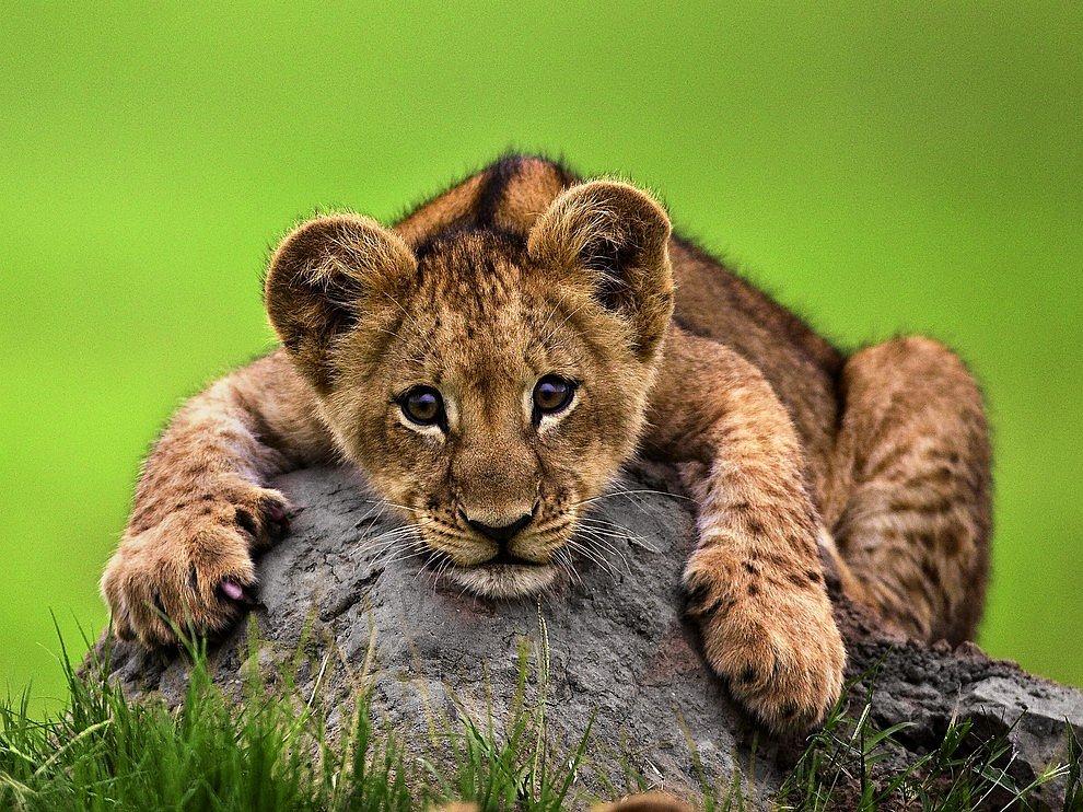 Львенок из Ботсваны