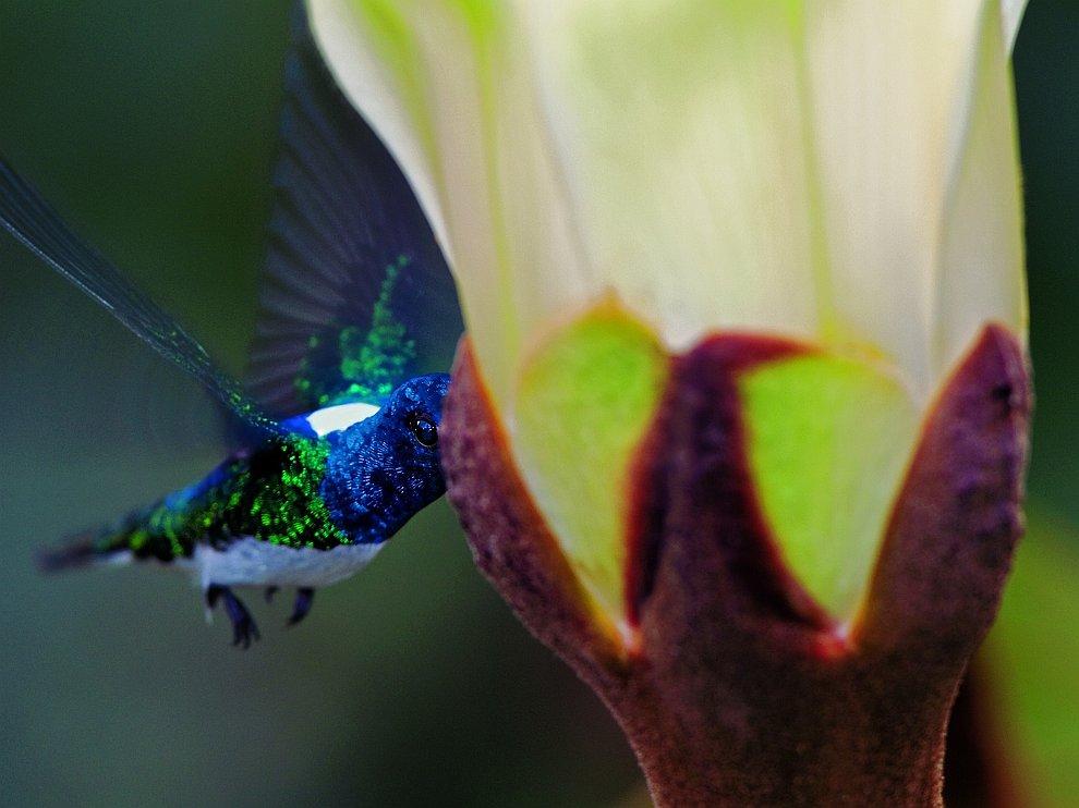 Колибри пьет нектар охромы