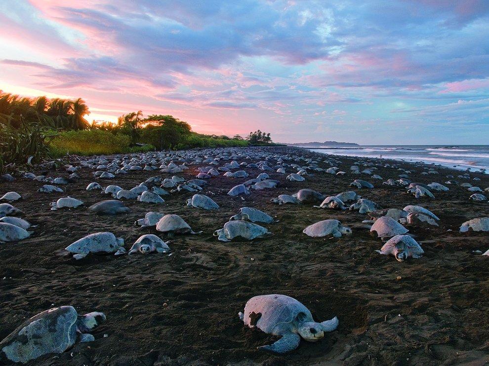 Черепахи на побережье Центральной Америки