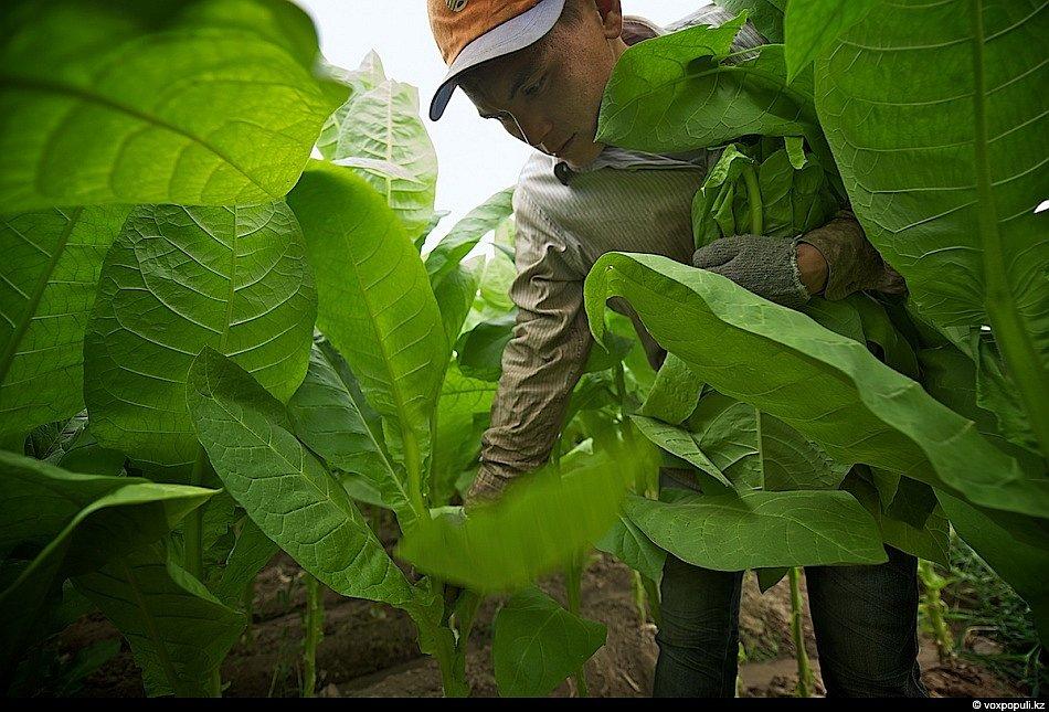 Как это делается: выращивание табака