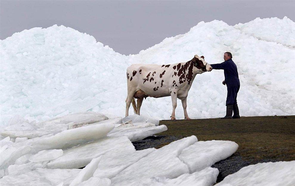 Корова во льдах