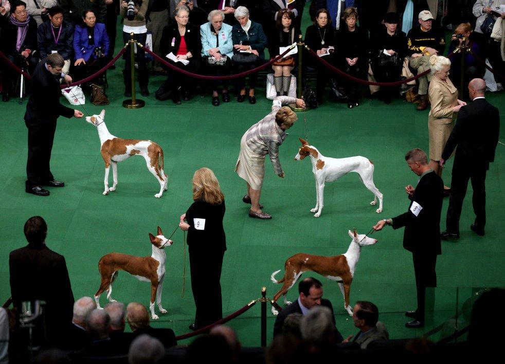 Выставка собак Westminster Kennel Club 2012