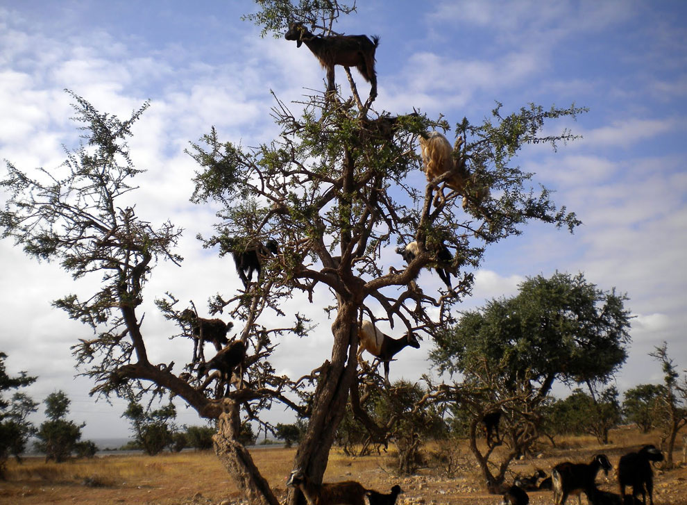 Козы из Марокко, которые умеют лазать по деревьям