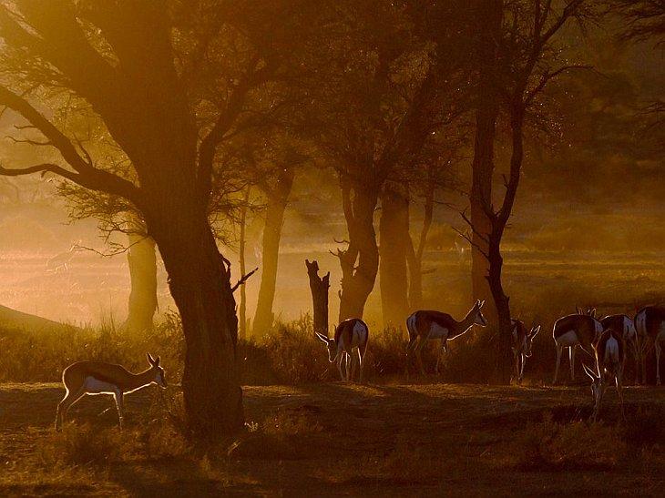 Стадо газелей на закате в Калахари, Южная Африка