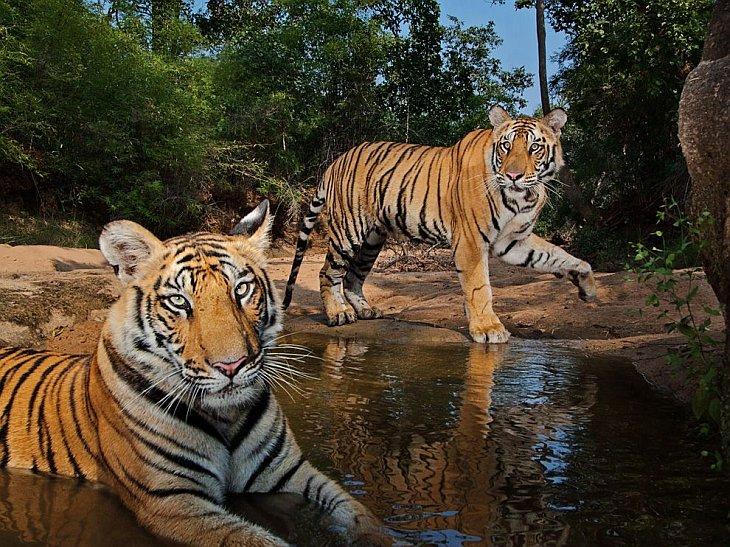 Тигры, Индия