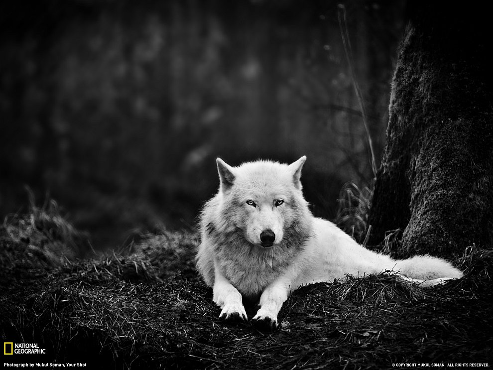 Серый волк, штат Вашингтон
