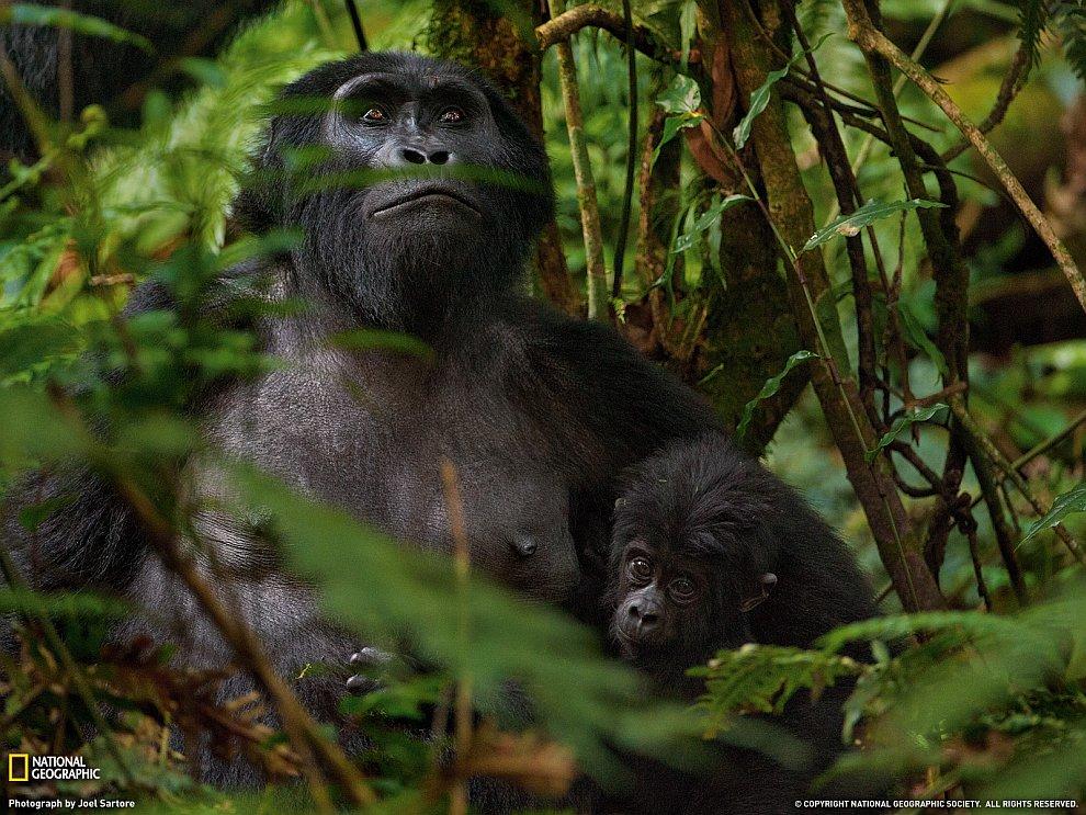 Горные гориллы, Африка