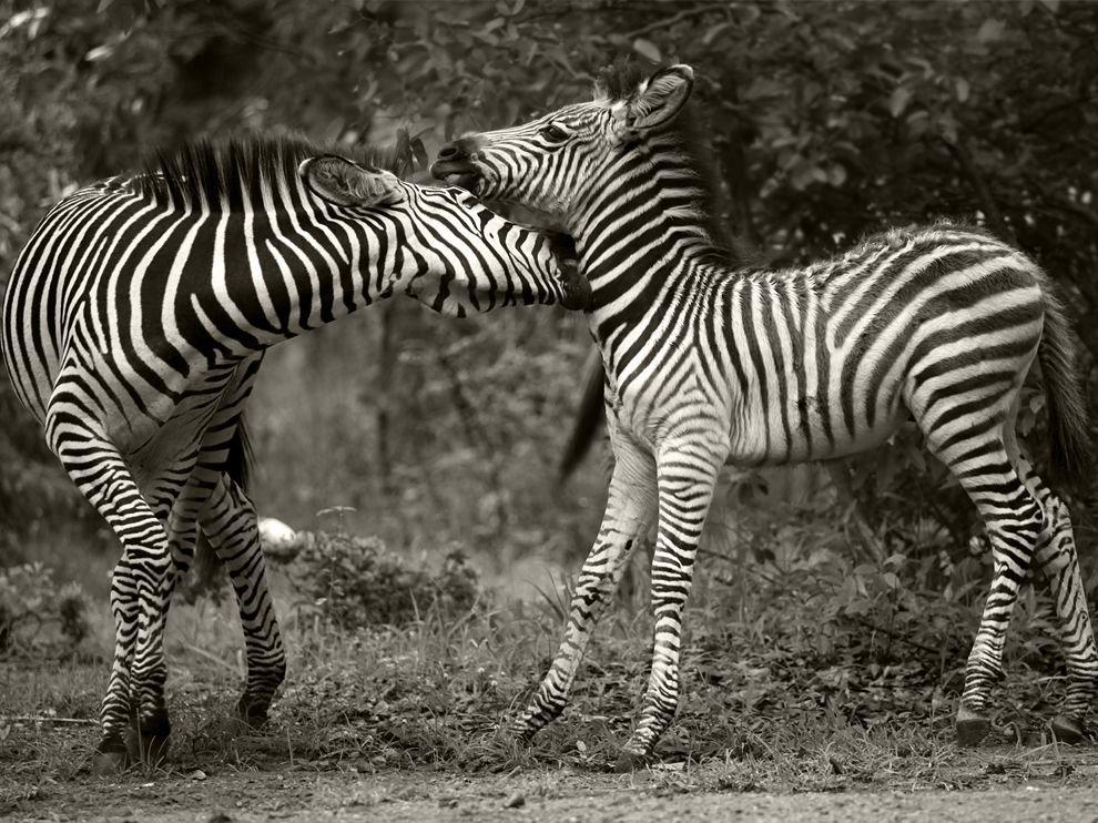 Зебры из Замбии