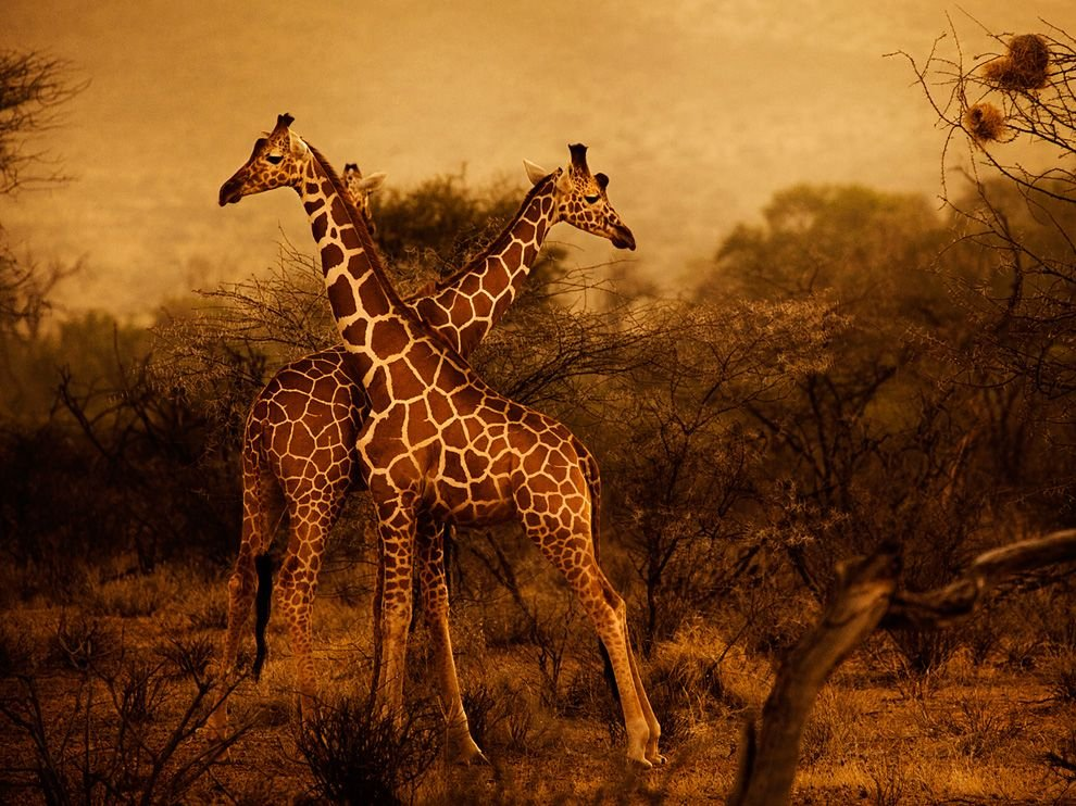 Жирафы в Национальном заповеднике в Кении