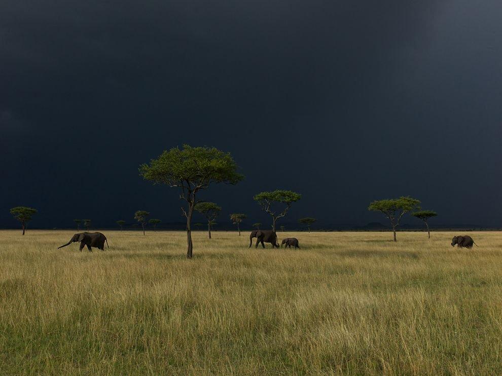 Слоны, Серенгети