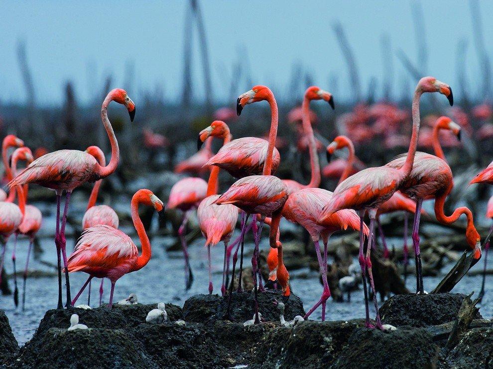 Фламинго, Куба