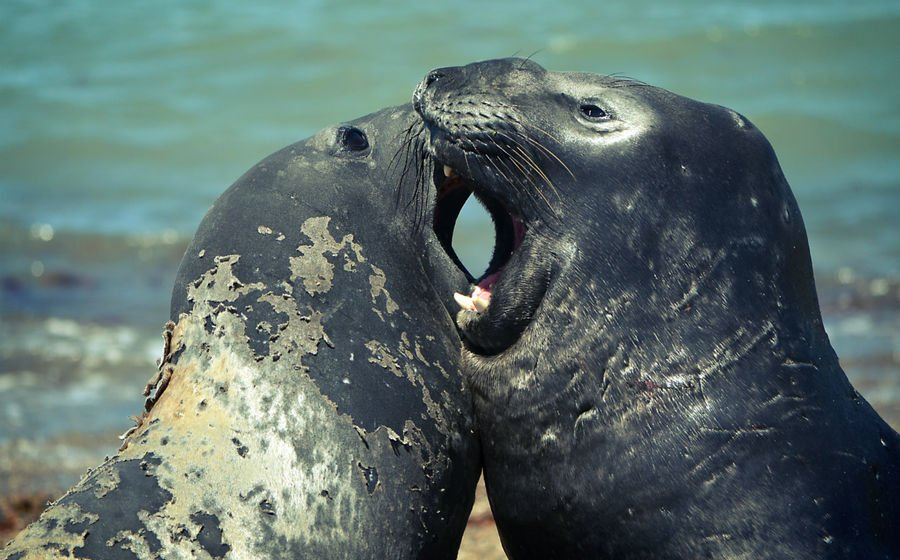 Морские слоны