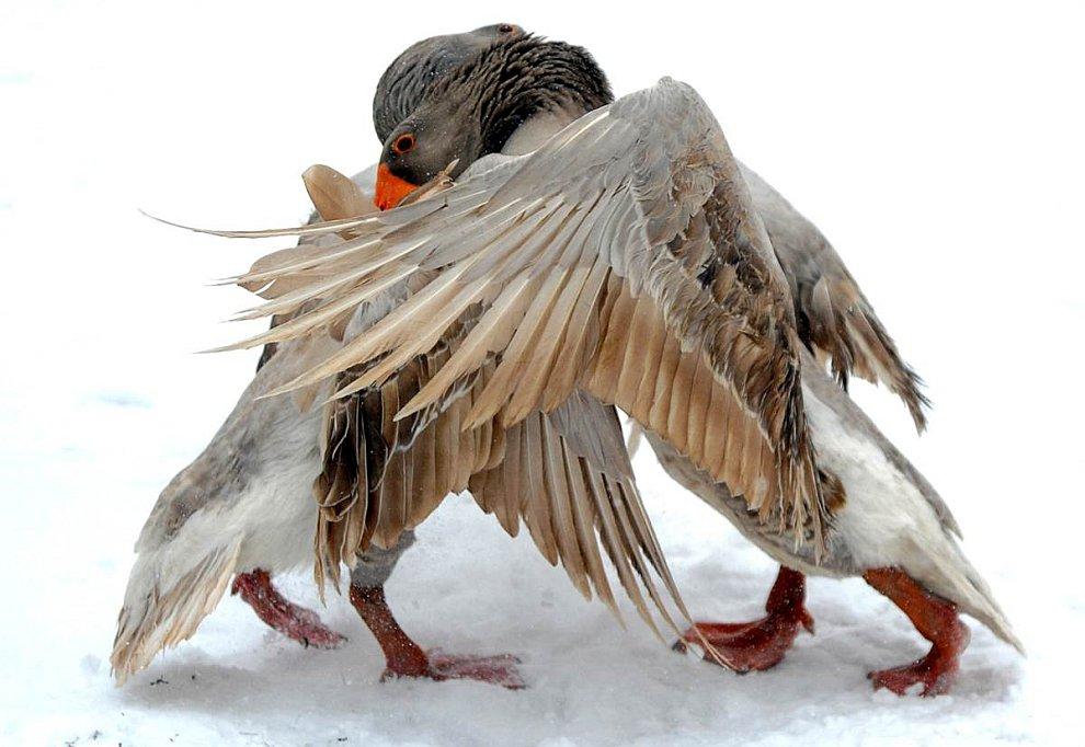 Бой гусей