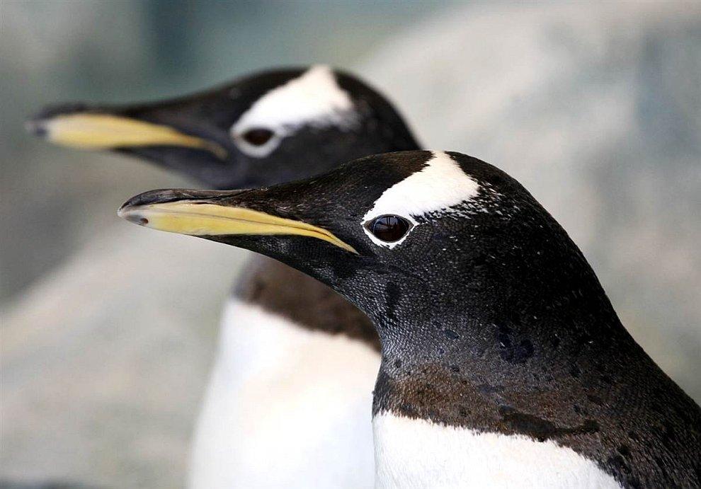 Пингвины в профиль
