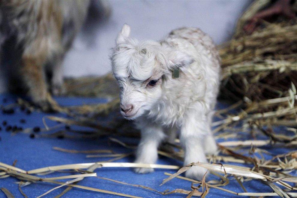 Первая клонированная коза