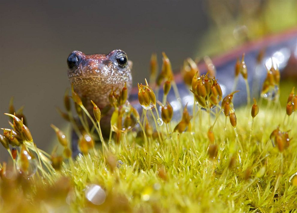 Разнополосая саламандра