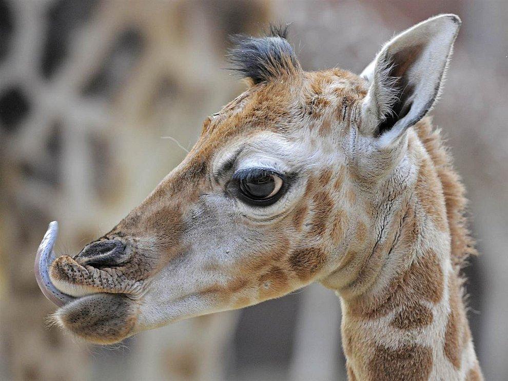 Недельный жирафенок