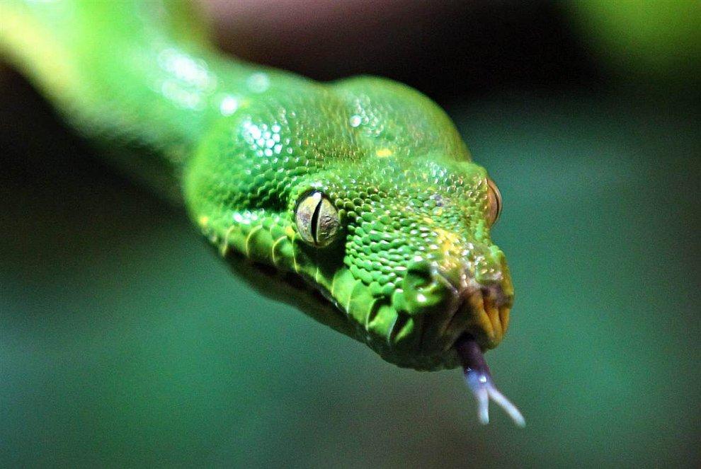 Древесный (зеленый) питон