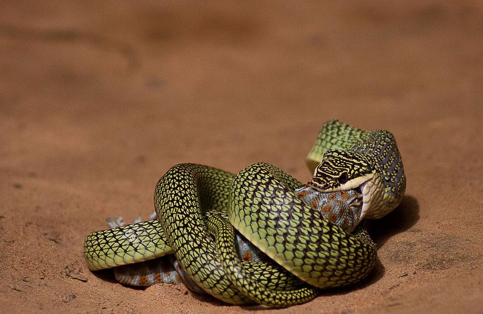 Золотая древесная змея (лат. Chrysopelea ornata)