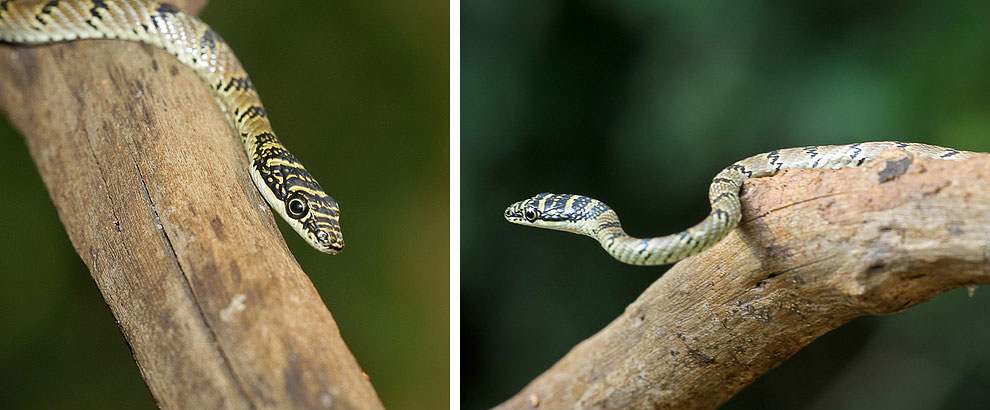 Chrysopelea taprobanica