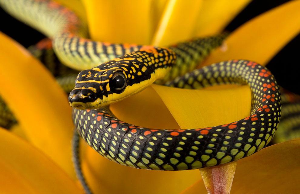 райская древесная змея (Chrysopelea paradisi)